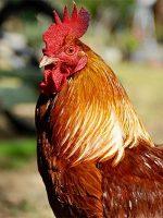 Chapon poulet lecoq
