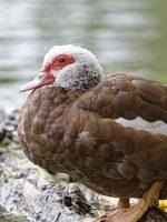 poulet-lecoq-canard
